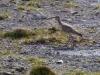 Storspov, Eurasian Curlew, Numenius arquata