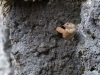 Gärdsmyg, Wren, Troglodytes troglodytes borealis