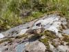 Stenskvätta, Northern wheatear, Oenanthe oenanthe