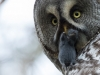 Lappuggla, Great Grey Owl, Strix nebolusa