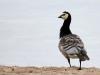 Vitkindad gås, Barnacle Goose, Branta leucopsis