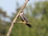 Lärkfalk, Eurasian Hobby,Falco subbuteo
