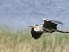 Gråhäger, Grey Heron, Ardea cinerea
