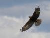 Brun kärrhök, Western Marsh-harrier, Circus aeruginosus