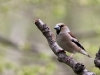 Stenknäck, Hawfinch, Coccothraustes coccothraustes
