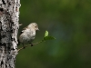 Bofink, Common Chaffinch, Fringilla coelebs