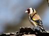Steglits, Goldfinch, Carduelis carduelis