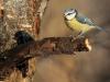 Blåmes, Blue Tit, Parus caeruleus