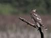Sparvhök, Sparrowhawk, Accipiter nisus