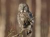 Lappuggla, Great Grey Owl, Strix nebolusa