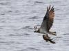 Fiskgjuse, Osprey, Pandion haliaetus
