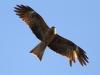 Brun glada, Black Kite, Milvus Migrans