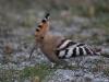 Härfågel, Hoopoe, Upupa epops