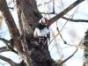 Vitryggig hackspet, White-backed Woodpecker, Dendrocopos leucotos