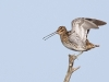 Enkelbeckasin, Common Snipe, Gallinago gallinago