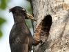 Spillkråka, Black Woodpecker, Dryocopus martius