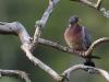 Ringduva, Common Wood Pigeon, Columba palumbus