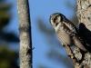 Hökuggla, Northern Hawk Owl, Surnia ulula