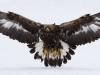 Kungsörn, Golden eagle, Aquila chrysaetos