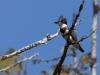 Bälteskungsfiskare, Belted kingfisher, Megaceryle alcyon