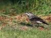 Nötkråka, Spotted Nutcracker, Nucifraga caryocatactes