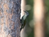 Gråspett, Grey-headed Woodpecker, Picus canus