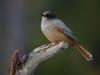 Lavskrika, Siberian Jay, Perisoreus infaustus