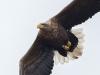 Havsörn, White-tailed Eagle, Haliaeetus albicilla