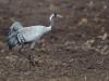 Trana, Common crane, Grus grus