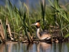 Skäggdopping, The great crested grebe, Podiceps cristatus