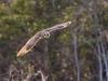 Jorduggla, Short-eared Owl, Asio flammeus