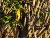 Gulsparv, Yellowhammer, Emberiza citrinella