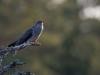 Gök, Common Cuckoo, Cuculus canorus