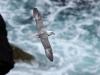 Stormfågel, Northern fulmar, Fulmarus glacialis