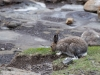 Skogshare, Mountain hare, Lepus timidus