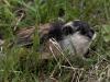 Fjällämmel, Norway lemming, Lemmus lemmus
