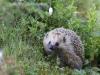 Igelkott, European hedgehog, Erinaceus europaeus