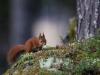 Ekorre, Red squirrel, Sciurus vulgaris