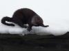 Mink, American mink, Mustela vison