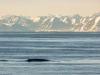 Blåval, Blue whale, Balaenoptera musculus