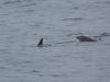 Flasknosdelfin, Common bottlenose dolphin, Tursiops truncatus