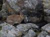 Vildkanin, European rabbit, Oryctolagus cuniculus