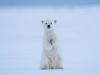 Isbjörn, Polar bear, Ursus maritimus