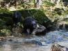 Svartbjörn, Black bear, Ursus americanus