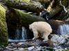 Kermodebjörn, Spirit bear, Ursus americanus kermodei