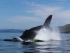 Knölval, Humpback whale, Megaptera novaeangliae