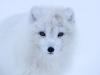 Fjällräv, Arctic fox, Vulpes lagopus