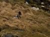 Fjällräv, Artic fox, Vulpes lagopus