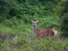 Kronhjort, Red deer, Cervus elaphus