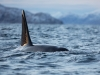 Späckhuggare, Killer whale, Orcinus orca